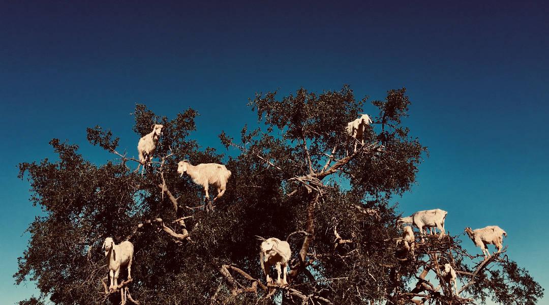 essaouira goats